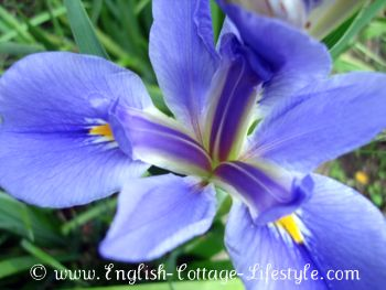Algerian iris english cottage garden flower