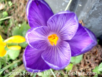 Crocus in the cottage garden